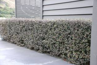 whats the best way to plant and maintain a hedge or a living screen