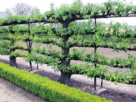 How To Espalier Ornamental And Fruit Trees Texture Plants