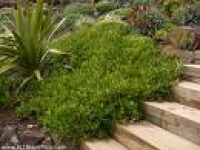 Coprosma poor knights ground cover stairs