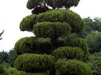Juniperus chinensis Kaizuka cloud tree