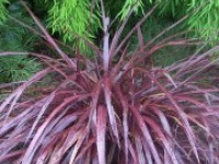 Cordyline Red Fountain foliage trunkless
