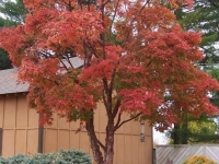 Mature Acer griseum in Autumn Colour