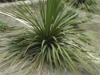 Beaucarnea longifolia Pony Tail Palm