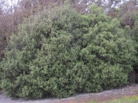 Pittosporum tenufolium mature