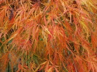 Acer viridis Orange Autumn Colour