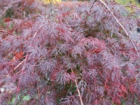 Acer Emerald Lace in striking Autumn Colour