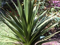 Cordyline green goddess
