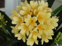 Clivia miniata yellow flower