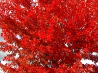 Acer Jeffers red autumn colour