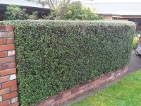 Corokia geentys green mature hedge 1.2m high