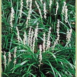 Liriope m munroes white texture plants this outstanding perennial with grass like foliage has white flowers during the autumn months on spikes like a grape hyacinth mightylinksfo
