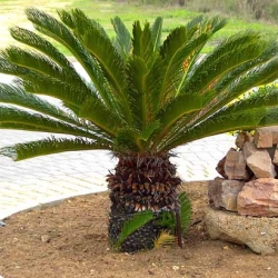 cycas revoluta texture plants. Black Bedroom Furniture Sets. Home Design Ideas