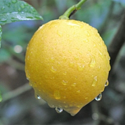 Lemon Meyer fruit