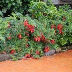 Clianthus punic Kaka beak