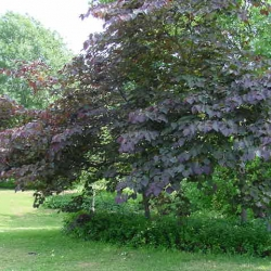 Cercis Forest Pansy mature tree