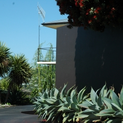 Agave 'boutins blue'