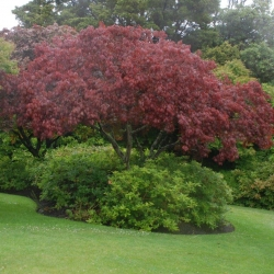 acer Red Emperor mature tree