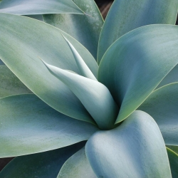 Agave 'boutins blue' close up