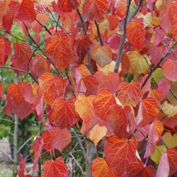 Cercis Forest Pansy autumn