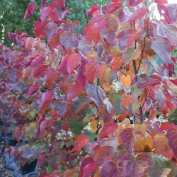 Cercis Forest Pansy early autumn