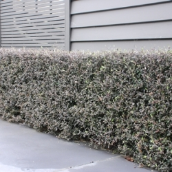 Corokia frosted chocolate mature hedge approx 600mm high