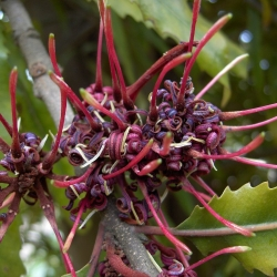 Knightia excelsa flower