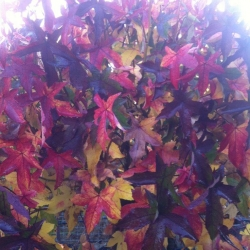 Liquidamber 'Gumball' autumn colour