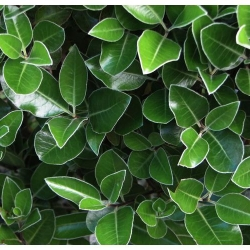 Pittosporum stevens island foliage close up