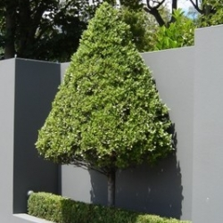 Pittosporum stevens island topiary