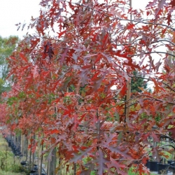 Quercus palustrus autumn foliage