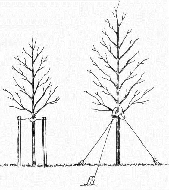tree staking detail