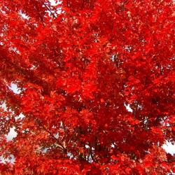Acer Jeffers Red Texture Plants
